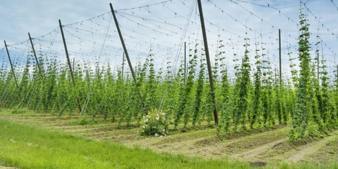 Craft Breweries Seeking Alabama-Grown Grain