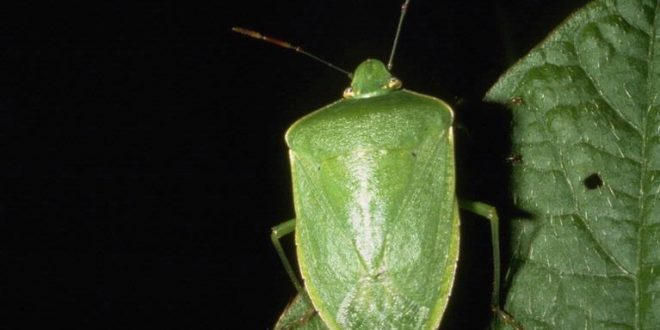 Gardeners Search for Stinkbug Control Options