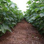 cotton bollworms