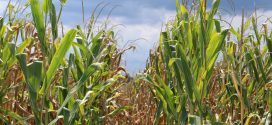 Harvest Considerations for High Moisture Corn
