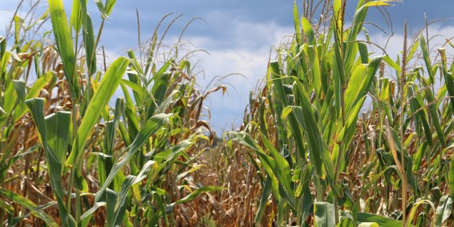 the disadvantages of corn with high moisture content G74-100 feeding high moisture corn  zdisadvantages of high moisture corn  field losses at harvest can be significantly affected by corn moisture content.