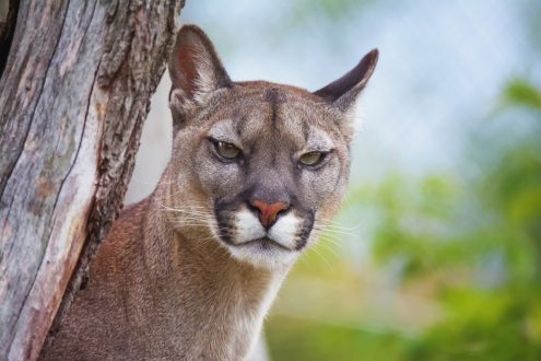 Mountain lion with a stern look.