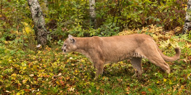 Are Mountain Lions Roaming Alabama Woods?