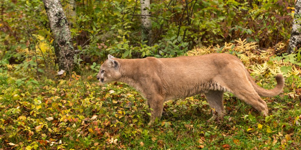 the mountain lion at the farm