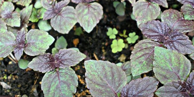 Perilla Mint: Dangerous to Livestock