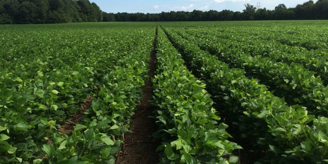Scouting for Soybean Insect Pests