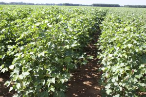 cotton susceptible to crop insect pests