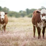 cattle sale tax