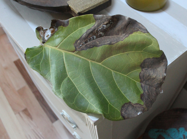 How to Care for a Fiddle-Leaf Fig Tree