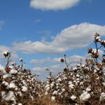 Alabama Cotton Yields