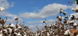 Alabama Extension Hosts Cotton and Soybean Scouting School