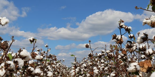 Alabama Cotton Yields Third Highest in History
