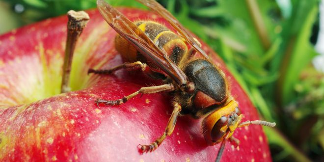 Look Out for Yellow Jackets this Fall