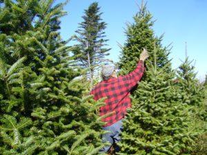 balsam_fir_christmas_tree_pruning-300x225