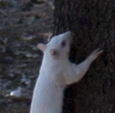 white-squirrel-cropped-2