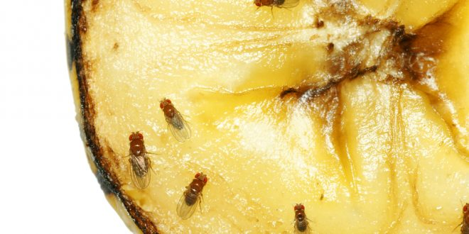 Image result for Fruit Flies How To Get Rid Of Fruit Flies