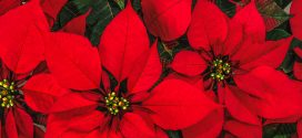 Poinsettias: The Christmas Flower