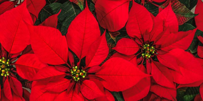 poinsettias the christmas flower - Christmas Poinsettia