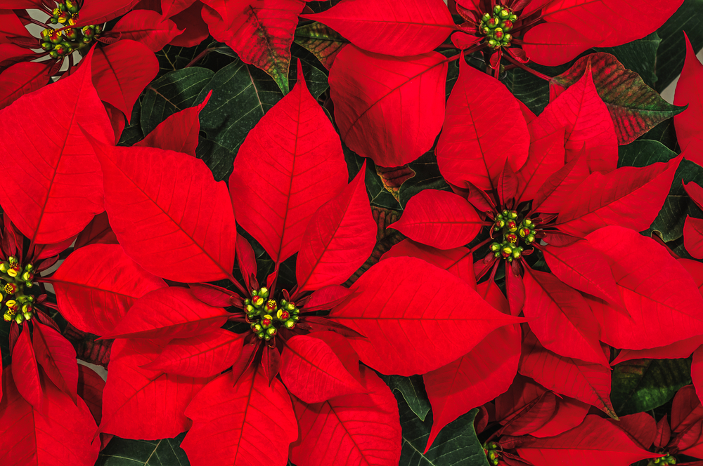 poinsettias the christmas flower extension daily. Black Bedroom Furniture Sets. Home Design Ideas