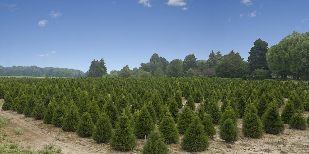 Alabama Christmas Tree Farms