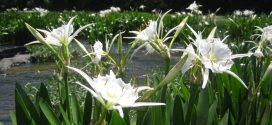 Alabama's Hidden Treasure: Cahaba Lilies
