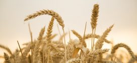 grain gluten wheat