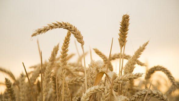 grain gluten wheat