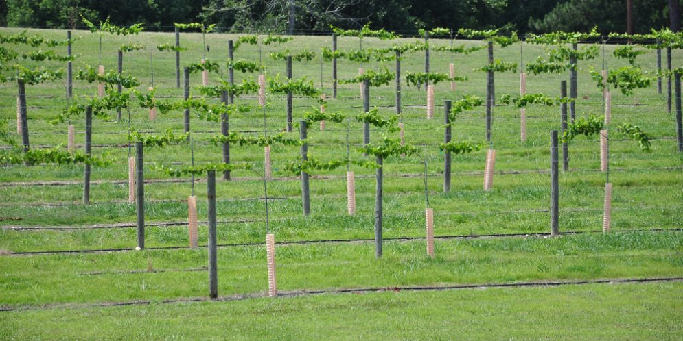 Growing Local: The World of Wine in Alabama Vineyards
