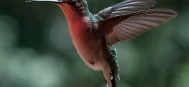Proper Care for Ruby-throated Hummingbirds and Feeders