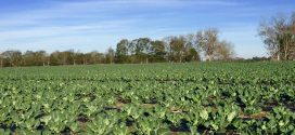 Collards and Other Nutritious Greens