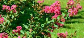 Crapemyrtles–A Southern Favorite