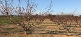 Alabama Fruit Crop Braves Cold Temperatures