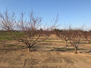 Alabama Fruit Crop Braves Cold Temperatures