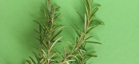 The Dew of the Sea: Growing Rosemary Anywhere