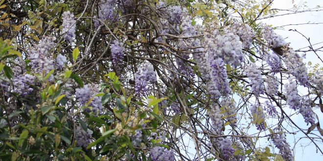 What You Need to Know about Wisteria
