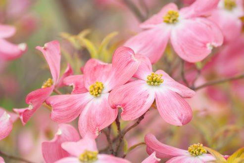 pink dogwood bloom/ dogwood trees