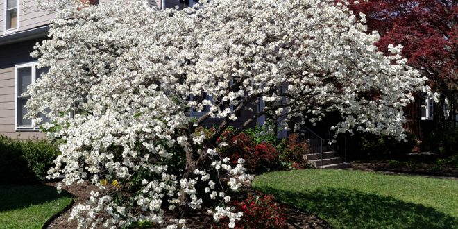 10 Facts to Know about Dogwood Trees