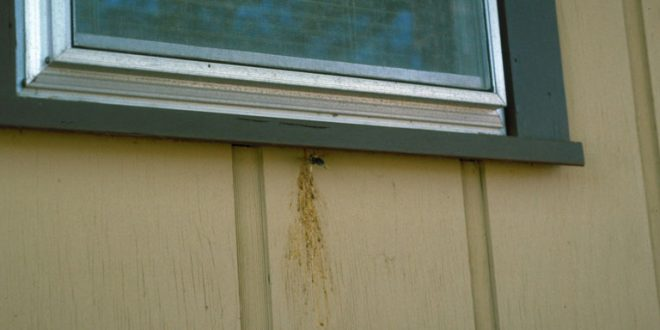 Buzzing Pest: Carpenter Bees