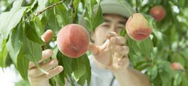 peach producers pick
