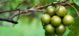 Muscadines-Backbone of Alabama Wine Industry