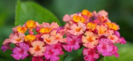 Lantana: Hard Working Shrub for Home Landscapes