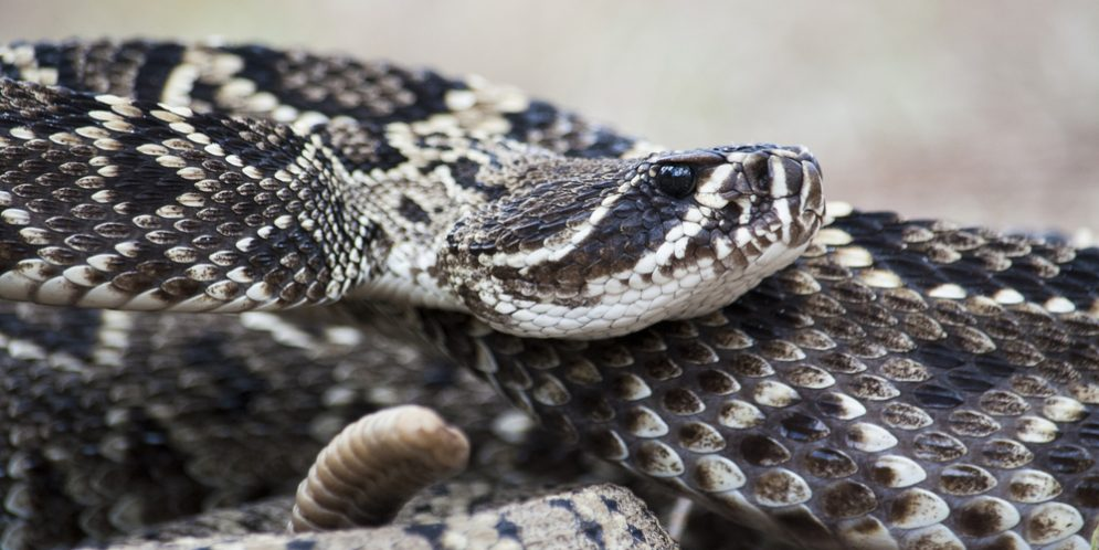 Venomous Snakes of Alabama: What You Need to Know