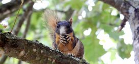 Fox squirrels: The gray squirrel's colorful cousin