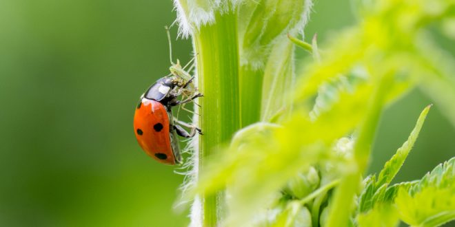 Beneficial Insects In Gardens