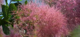 Alabama Smoketree: A Beautiful Addition to Your Yard or Garden