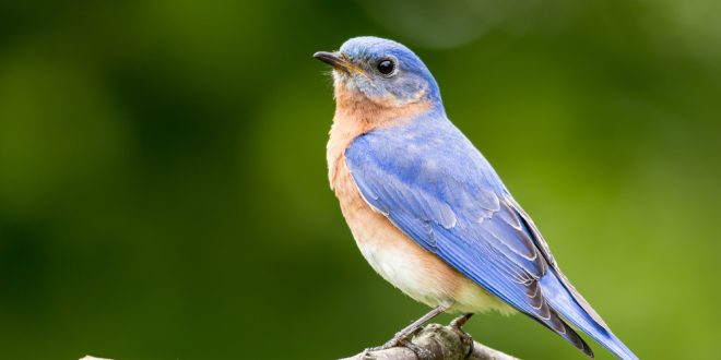 Attracting and Feeding Bluebirds