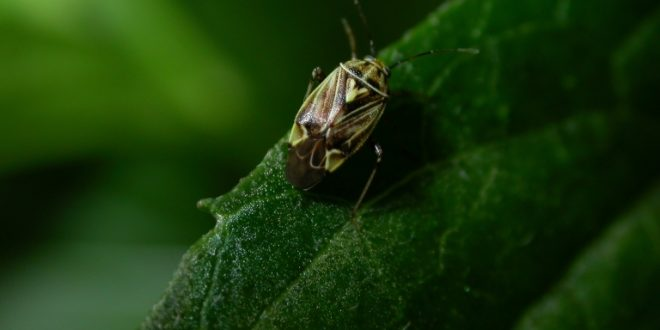 Extension Entomologists Warn Cotton Producers about Tarnished Plant Bugs