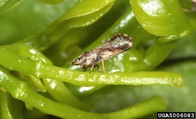Citrus Greening Affecting Alabama Citrus