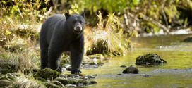 Black Bears in Alabama: What to do in an encounter