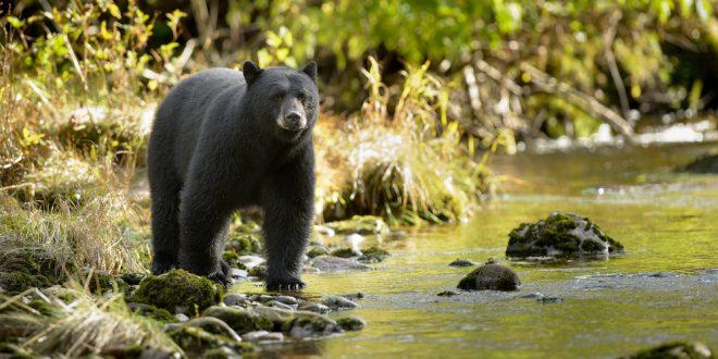 Black Bears in Alabama